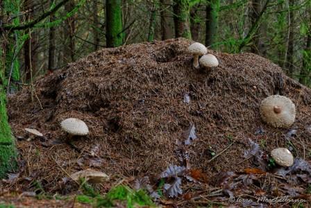 Des lépiotes déguenillées - Chlorophyllum rhacodes à l'assaut d'une fourmilière.