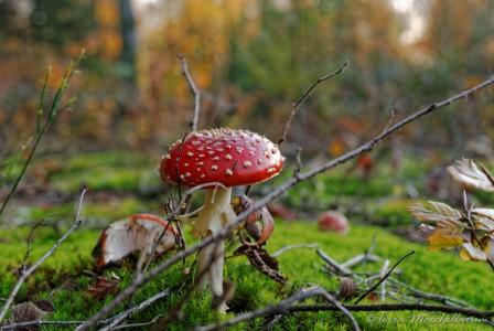 Une amanite tue-mouches - Amanita muscaria ajoute sa couleur rouge aux couleurs de l'automne.