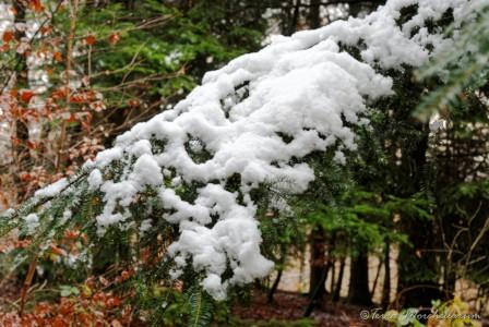 Une neige lourde et mouillée sur une branche de sapin.