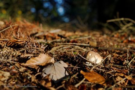 Un petit bouchon de cèpe de Bordeaux - Boletus edulisprofite du soleil d'automne.