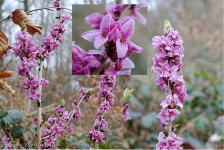 le bois-joli ou jolibois, avec ses fleurs magnifiques et au parfum délicat.