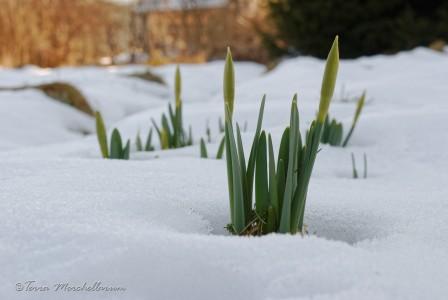 Jonquilles sous la neige.