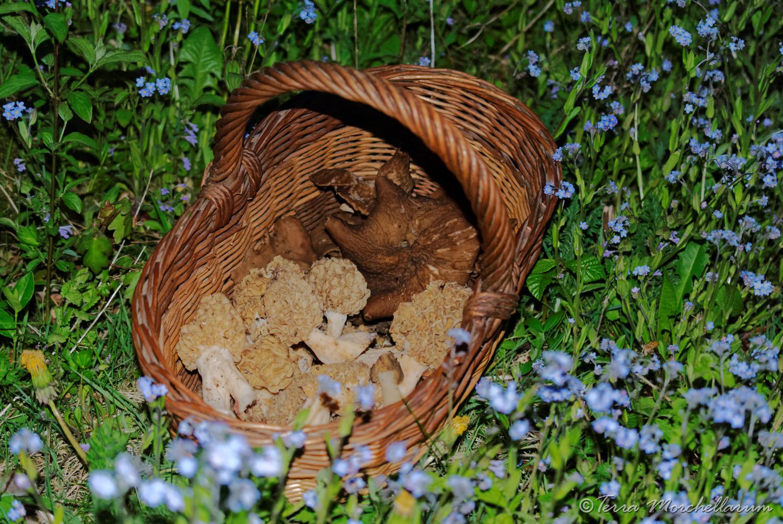 Morilles 2015 : début de saison - Terra Morchellarum