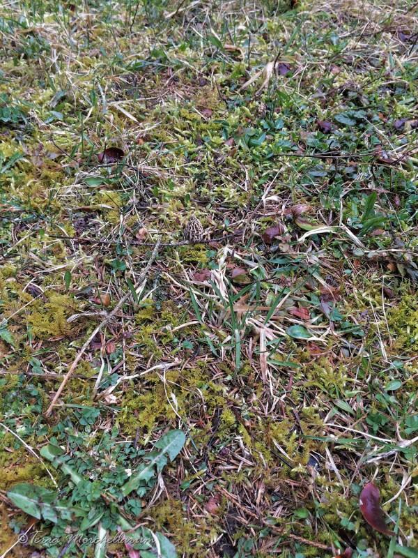 Biotope moussu d'herbe rase avec une morille puis 2 autres que l'on trouvera plus tard - cliché Laurent F.