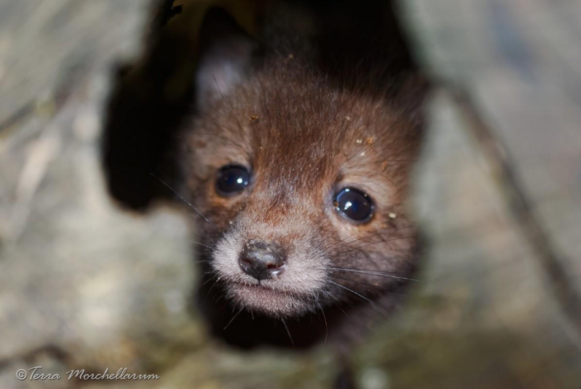 Un jeune renardeau m'observe un peu inquiet