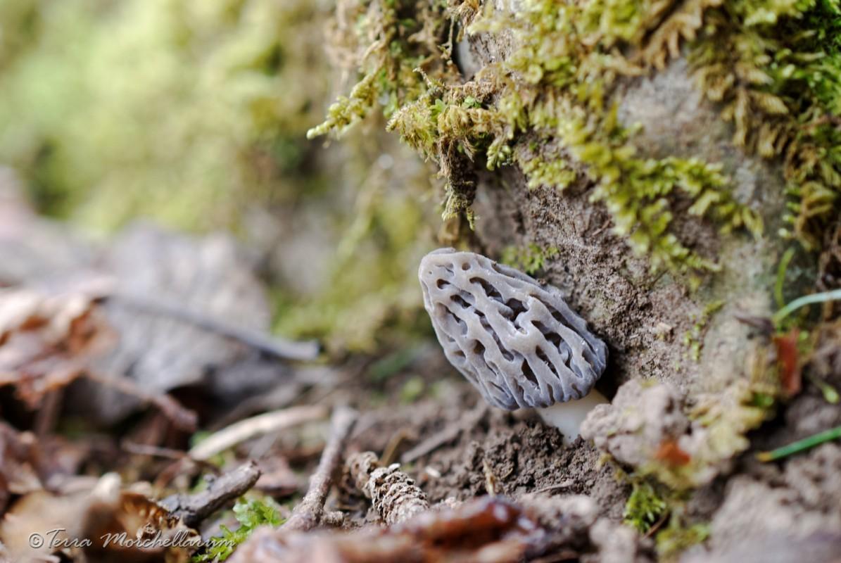 Une belle morille conique grise au pied d'un rocher