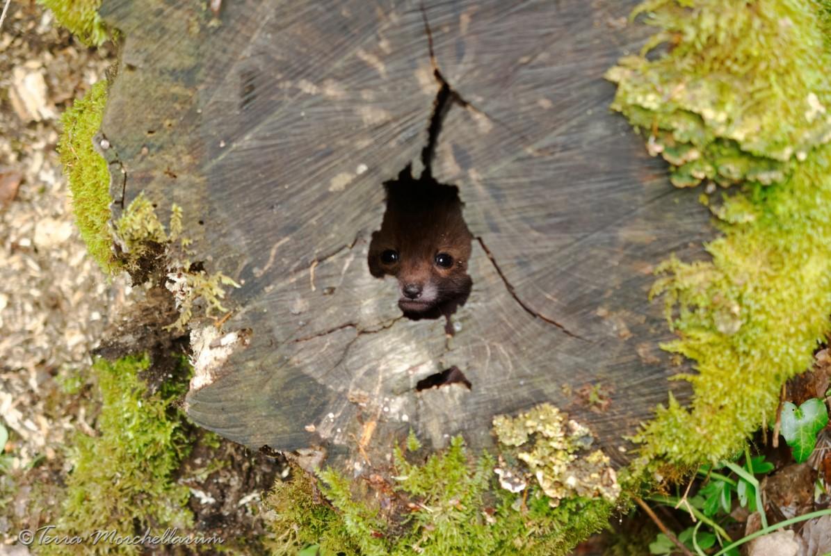 Des renardeaux dans une souche creuse