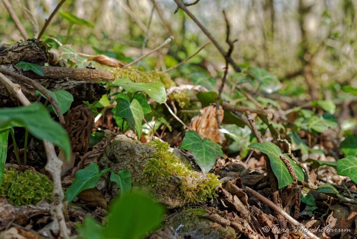 bien cachées, les verpes de Bohême sont amusantes à rechercher
