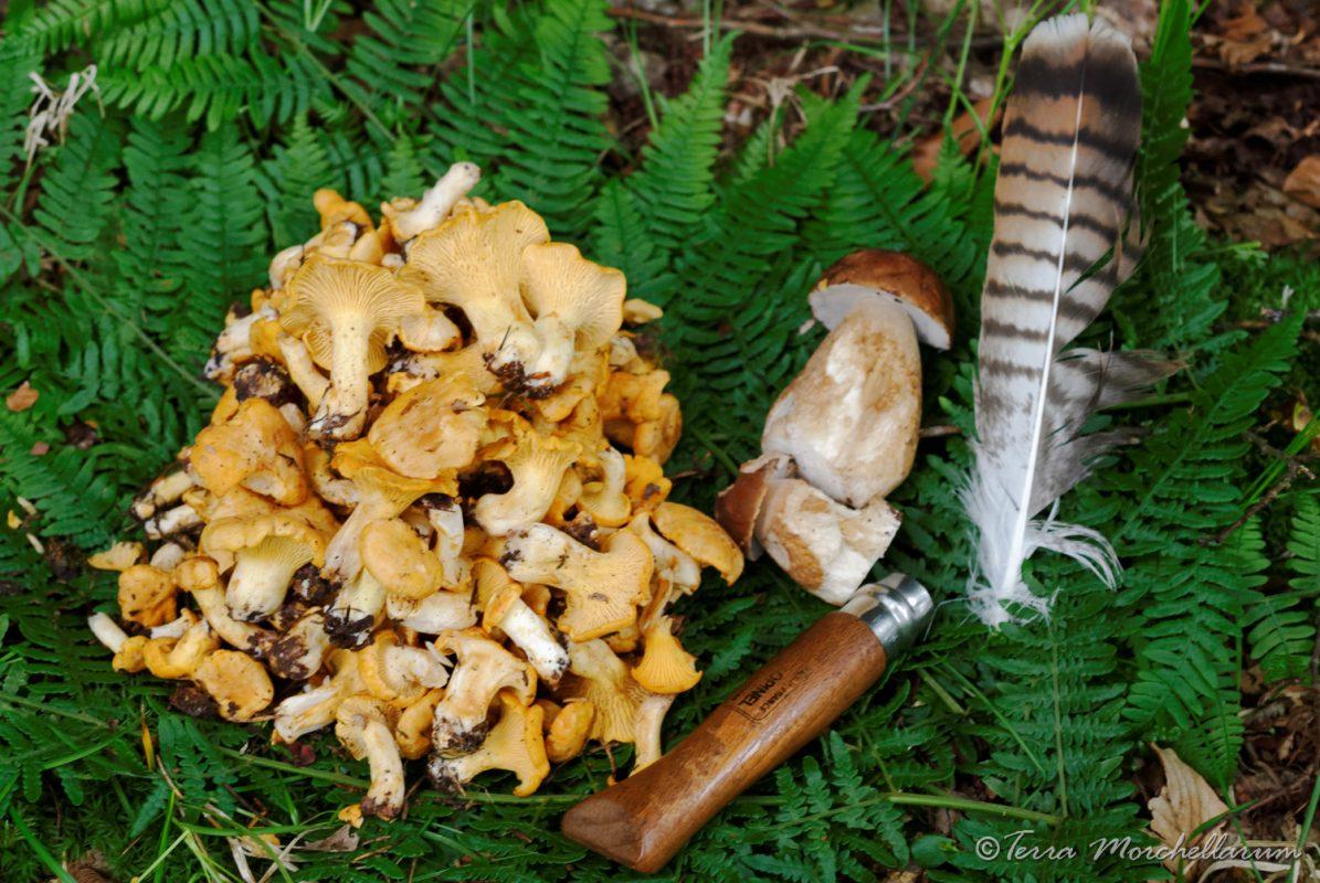 Première cueillette de champignons d'été.