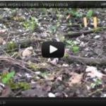 Vidéo de verpe conique