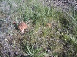 Morille - Morchella esculenta