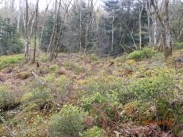Champ de myrtilliers dans les Vosges