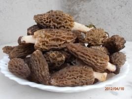 Une belle récolte de morilles - Morchella elata