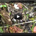 Vidéo de morilles et entolomes
