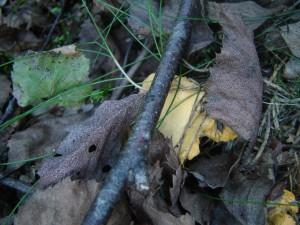 Cantharellus sp. Jeunes chanterelles, girolles en train de pousser.