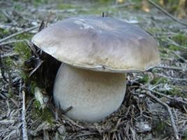 Boletus edulis - Cèpe de Bordeaux : jeune spécimen à la mousse encore blanche.