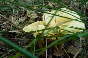Les chanterelles ou girolles profitent de l'humidité et de l'herbe pour se développer.