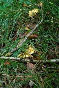 Herbe, ronces et branches offrent aux chanterelles abris et humidité.