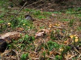 Des chanterelles ou giroles anormalement petites et qui ne semblent jamais vouloir grandir : Cantharellus pseudominimus.