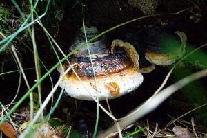 Fomitopsis pinicola proablement.