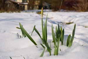 Jonquilles dans la neige