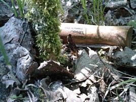 Une jeune morille conique - Morchella elata, qui sèche sous l'action du soleil et du vent en 2011.
