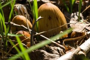 Mes premiers coprins micacés - Coprinellus micaceus, de l'année.