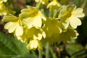 Coucous ou primevères officinales - Primula veris