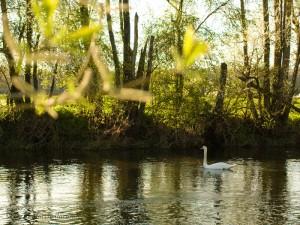 Rencontre sympathique avec un cygne sur les bords de la rivière Ognon.