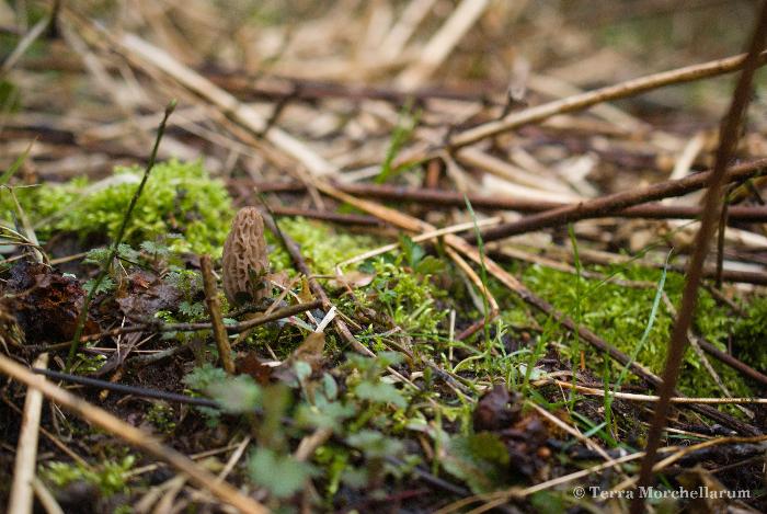 Une jeune morille conique - Morchella elata en train de pousser le 9 avril 2013. Toute l'élégance et l'esthétisme de ce champignon sont réunis dans cette photo.