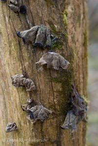 Une colonie d'oreilles de Judas - Auricularia auricula-judae a séché en attendant les prochaines pluies.