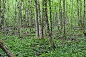 Un sous-bois où le frêne domine, potentiellement bon pour les morilles.