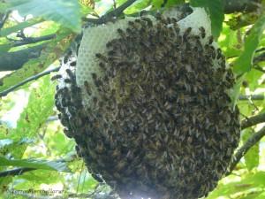 Un essaim d'abeilles s'installe dans un châtaignier et commence à construire les rayons.