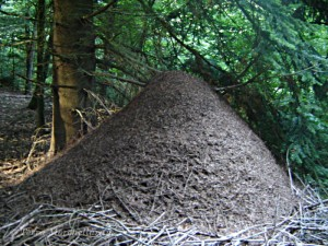 Un superorganisme courant et facile à observer : la fourmilière.