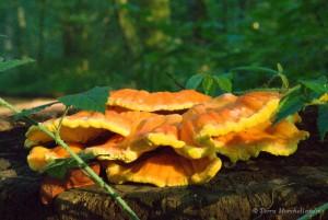 Laetiporus sulphureus - polypore soufré