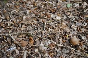 Trois petits bouchons de cèpes en train de pousser.
