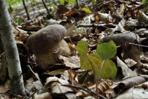 Deux beaux bouchons de cèpe en train de pousser à l'abri.