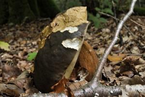 Un vieux cèpe qui finira son cycle en forêt.