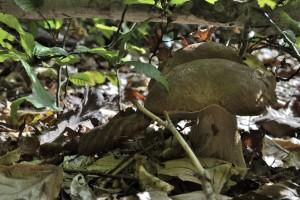 Un beau cèpe caché par une branche basse.