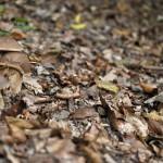 Cèpe bronzé et cèpe d'été : la divine surprise !