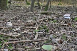 Les jeunes cèpes - Boletus edulis percent le tapis d'aiguilles des résineux le 22 septembre 2013.