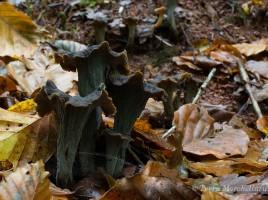De jolies trompettes de la mort ou cornes d'abondance - Craterellus cornucopioides.