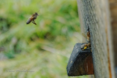 Première rentrée de pollen de noisetier en janvier 2014.