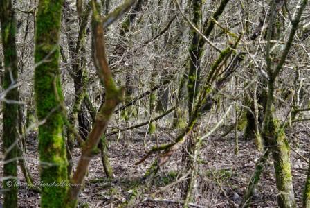 Biotope à morilles coniques constitué majoritairement de trembles.