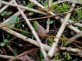 Encore quelques jours à patienter avant de découvrir les premières morilles coniques - Morchella conica.