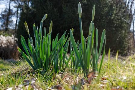 Les jonquilles sont encore en bouton, avec leur floraison viendront les premières morilles.