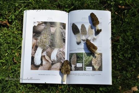 """Un ouvrage richement illustré de photos de morilles avec une clé de détermination précise qui me permet de classer définitivement mes """"elata"""" comme Morchella conica - morille conique."""