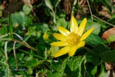 Les ficaires fausse renoncule commencent à fleurir également.