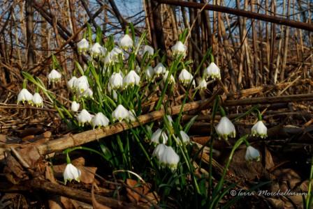 Les nivéoles forment de jolies touffes fleuries.