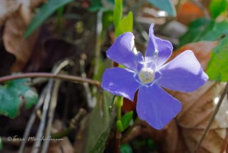 Les pervenches fleurissent également comme en avril.